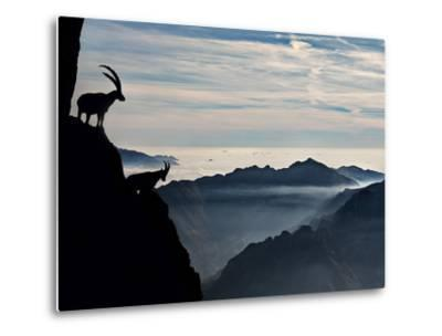 Two Alpine Ibex Dominate from Above the Spectacular View of the Italian Alps.-ClickAlps-Metal Print