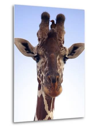 Giraffe Looking at Camera, Tsavo, Kenya, Africa-Neil Thomas-Metal Print