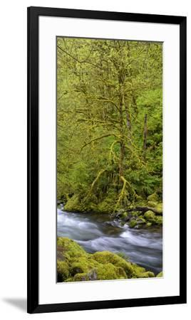 Moss Covered Trees Along Tanner Creek, Columbia Gorge National Scenic Area, Oregon, Usa--Framed Premium Photographic Print