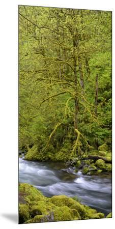 Moss Covered Trees Along Tanner Creek, Columbia Gorge National Scenic Area, Oregon, Usa--Mounted Premium Photographic Print