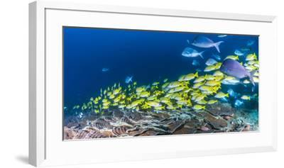 School of Bluestripe Snappers (Lutjanus Kasmira) Swimming About--Framed Premium Photographic Print