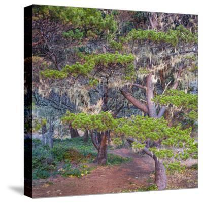 Pines with Hanging Lichens, Pacific Coast, Brookings, Curry County, Oregon, Usa--Stretched Canvas Print