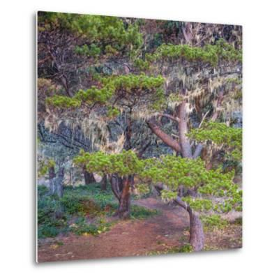 Pines with Hanging Lichens, Pacific Coast, Brookings, Curry County, Oregon, Usa--Metal Print