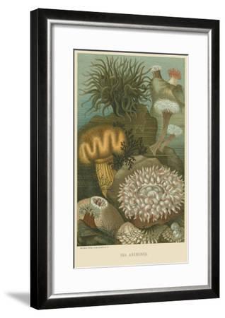 Sea Anemones--Framed Art Print