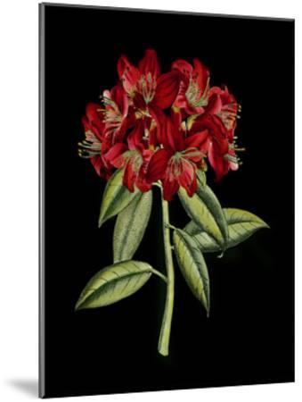 Crimson Flowers on Black II--Mounted Art Print