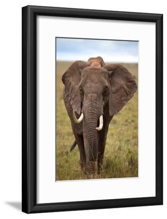 African Elephant-Lantern Press-Framed Art Print