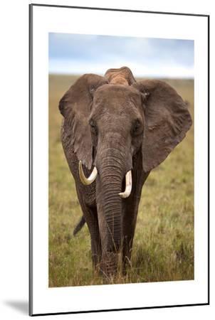 African Elephant-Lantern Press-Mounted Art Print