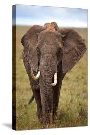 African Elephant-Lantern Press-Stretched Canvas Print