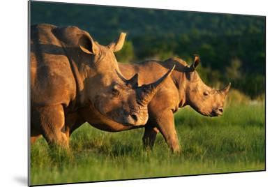 White Rhinoceros-Lantern Press-Mounted Art Print