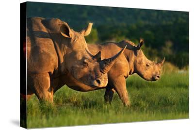 White Rhinoceros-Lantern Press-Stretched Canvas Print