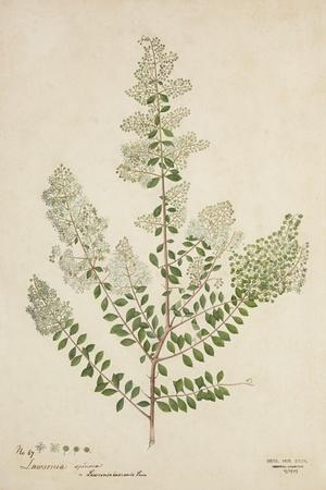 Lawsonia Spinosa, 1880-1900--Framed Giclee Print