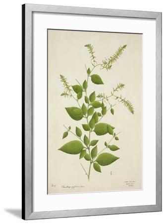Plumbago Zeylanica Linn, 1800-10--Framed Giclee Print