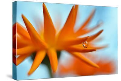 Sprawling Orange-Heidi Westum-Stretched Canvas Print