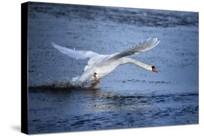 Mute Swan Landing-Marco Carmassi-Stretched Canvas Print