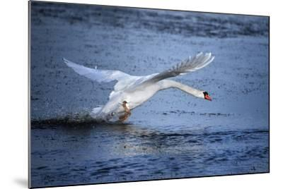 Mute Swan Landing-Marco Carmassi-Mounted Photographic Print