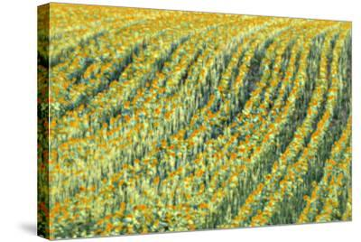 Abstract Sunflowers-Marco Carmassi-Stretched Canvas Print