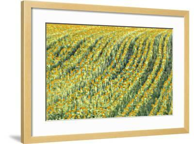 Abstract Sunflowers-Marco Carmassi-Framed Photographic Print