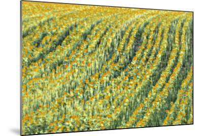Abstract Sunflowers-Marco Carmassi-Mounted Photographic Print