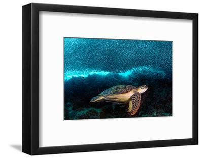 Turtle and Sardines-Henry Jager-Framed Photographic Print
