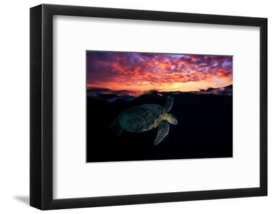 Sunset Turtle-Barathieu Gabriel-Framed Photographic Print