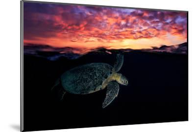Sunset Turtle-Barathieu Gabriel-Mounted Photographic Print
