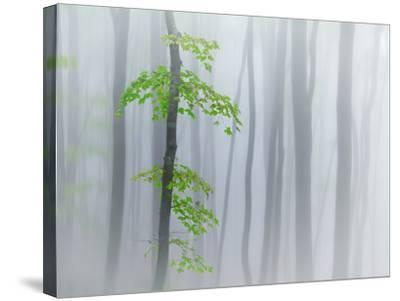The Fog and Leaves-Michel Manzoni-Stretched Canvas Print