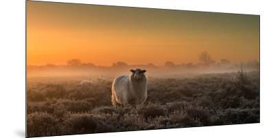 Sheep in the Mist-Rijko Ebens-Mounted Premium Photographic Print