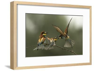 The Fight for the Female-Alberto Carati-Framed Photographic Print
