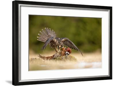 Peregrine Falcon-Milan Zygmunt-Framed Photographic Print
