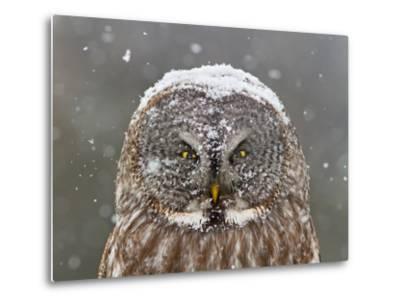 Great Grey Owl Winter Portrait-Mircea Costina-Metal Print