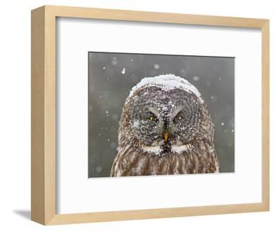 Great Grey Owl Winter Portrait-Mircea Costina-Framed Photographic Print