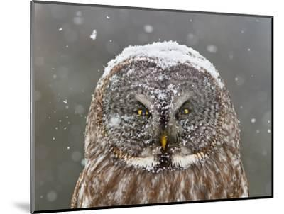 Great Grey Owl Winter Portrait-Mircea Costina-Mounted Photographic Print