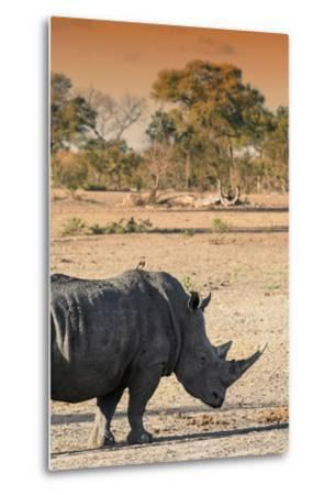Awesome South Africa Collection - Black Rhinoceros and Savanna Landscape at Sunset I-Philippe Hugonnard-Metal Print