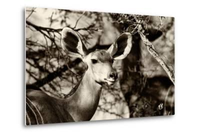 Awesome South Africa Collection B&W - Portrait of Nyala Antelope-Philippe Hugonnard-Metal Print