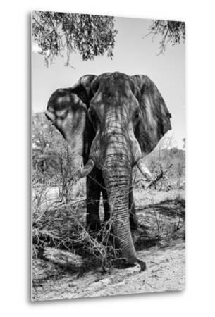 Awesome South Africa Collection B&W - Elephant Portrait V-Philippe Hugonnard-Metal Print