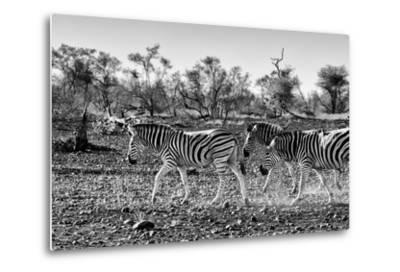 Awesome South Africa Collection B&W - Trio of Common Zebras III-Philippe Hugonnard-Metal Print
