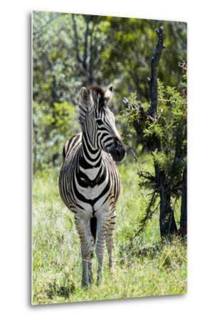 Awesome South Africa Collection - Burchell's Zebra I-Philippe Hugonnard-Metal Print