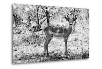 Awesome South Africa Collection B&W - Impala Antelope Portrait-Philippe Hugonnard-Metal Print