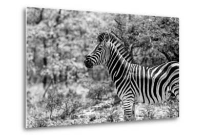 Awesome South Africa Collection B&W - Portrait of Burchell's Zebra I-Philippe Hugonnard-Metal Print