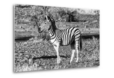 Awesome South Africa Collection B&W - Burchell's Zebra Portrait-Philippe Hugonnard-Metal Print