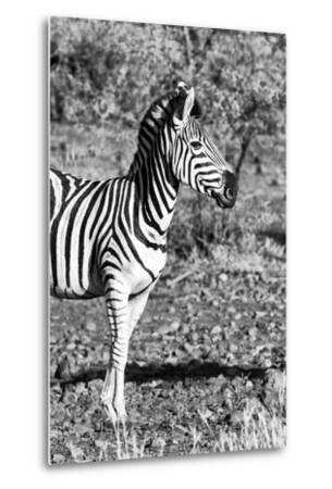 Awesome South Africa Collection B&W - Burchell's Zebra Portrait I-Philippe Hugonnard-Metal Print