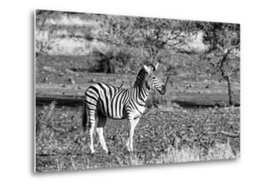 Awesome South Africa Collection B&W - Burchell's Zebra with Oxpecker-Philippe Hugonnard-Metal Print