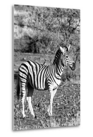Awesome South Africa Collection B&W - Burchell's Zebra with Oxpecker IV-Philippe Hugonnard-Metal Print