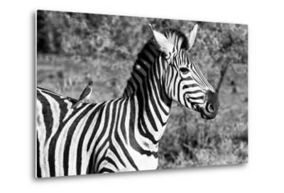 Awesome South Africa Collection B&W - Burchell's Zebra with Oxpecker III-Philippe Hugonnard-Metal Print