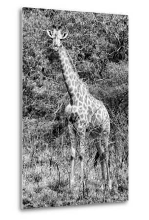 Awesome South Africa Collection B&W - African Giraffe IV-Philippe Hugonnard-Metal Print