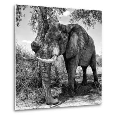 Awesome South Africa Collection Square - African Elephant B&W-Philippe Hugonnard-Metal Print
