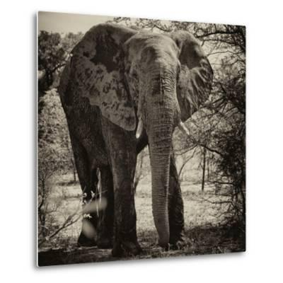 Awesome South Africa Collection Square - Elephant Portrait II-Philippe Hugonnard-Metal Print
