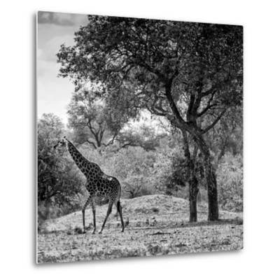 Awesome South Africa Collection Square - Wild Giraffe B&W-Philippe Hugonnard-Metal Print