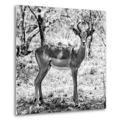 Awesome South Africa Collection Square - Young Impala Portrait B&W-Philippe Hugonnard-Metal Print
