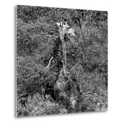 Awesome South Africa Collection Square - Giraffe B&W-Philippe Hugonnard-Metal Print